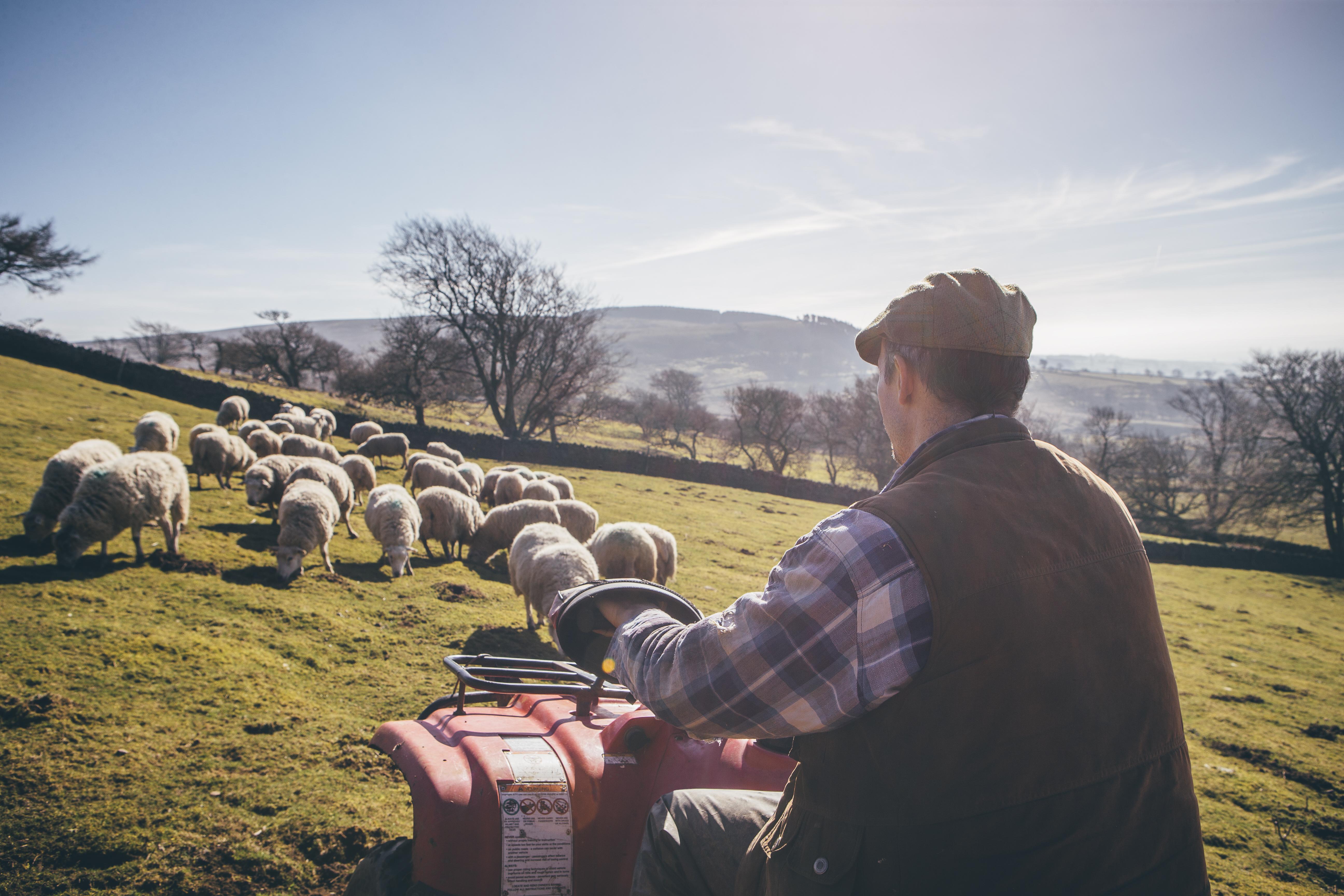 farmer on atv tending his sheep
